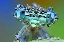 Macro photograph of a dew covered damselfly.