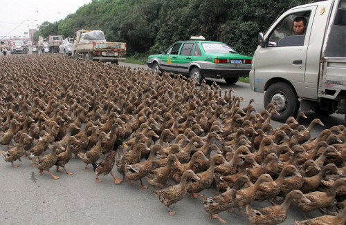 10knotes:  headandstomachaches: Traffic in the Chinese coastal city of Taizhou is brought to a standstill when 70-year-old Hong Minshun takes his 5,000 ducks for a walk. Hong says that regular exercise to reach a nearby feeding pond is necessary to keep his ducks fit and healthy. Drivers and passers by are amazed by the discipline of the ducks.