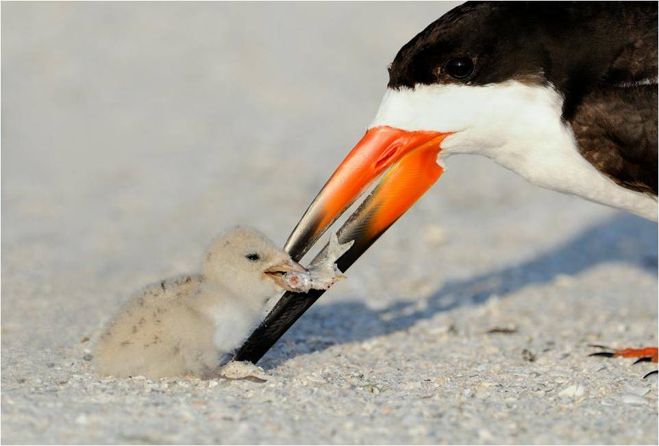 fairy-wren:  black skimmers (photo by nancy elwood)
