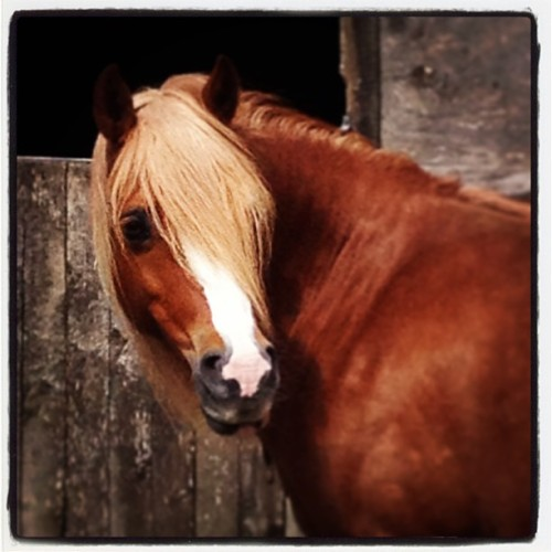 Gurnos welsh cherry #welsh #sectionc #c #chestnut #cherry #mare #ginger #blaze #blonde #flaxen #bigeye