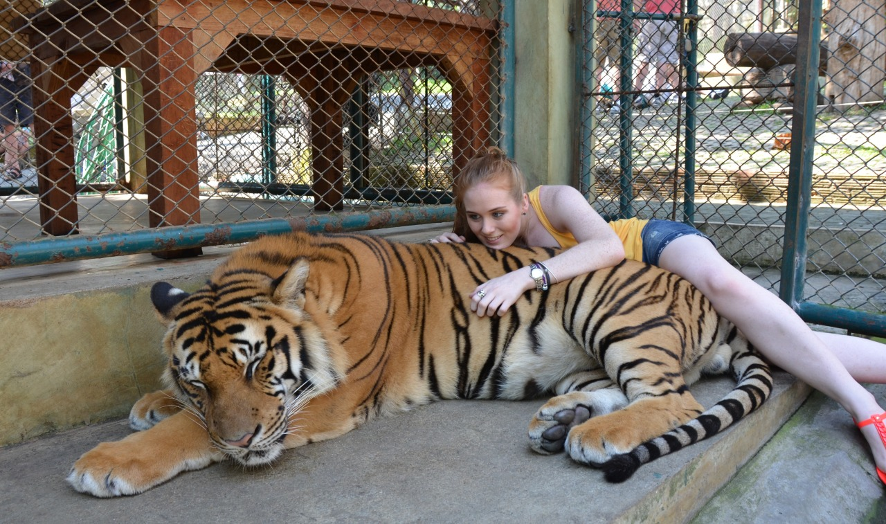 Chiang Mai, Thailand No big deal but I got to play with tigers! Everyone (my friends and family) was saying that I shouldn't go because they are mistreated. They said that they drug them and pull out their teeth so that they are really docile and can't bite you. I went anyway as you can see, but if I got there and they were being mistreated there is no way I would have paid to do it. These tigers were loved (and they all had teeth). They each had their own keeper who was so obviously attached to his tiger, and there were signs all around with a number saying call it if you see anything you don't like about how the tigers are being treated, the habitats they are in, or the condition of the tigers. These tigers were like any other that would have grown up in captivity… If you didn't do anything to threaten them they then they will not harm you, they are used to having lots of people around. The keeper would a say command, just as you would to your pet dog when you want him to sit, and then the tiger would lie down (if it wasn't already sleeping - tigers naturally sleep a lot) and then you go and lie down with it get your photo and move on. It was a really great experience and I would recommend it. I went to Tiger Kingdom which like I said, it seemed to be a proper sanctuary of sorts… but I know for a fact that there are places where the tigers are mistreated, so be careful not to support those ones!!