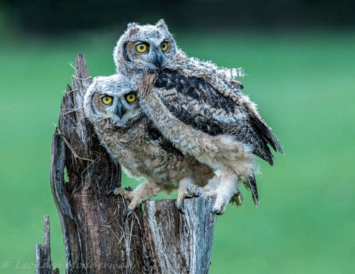 fairy-wren:  Great Horned Owls. Photo by Len@Play