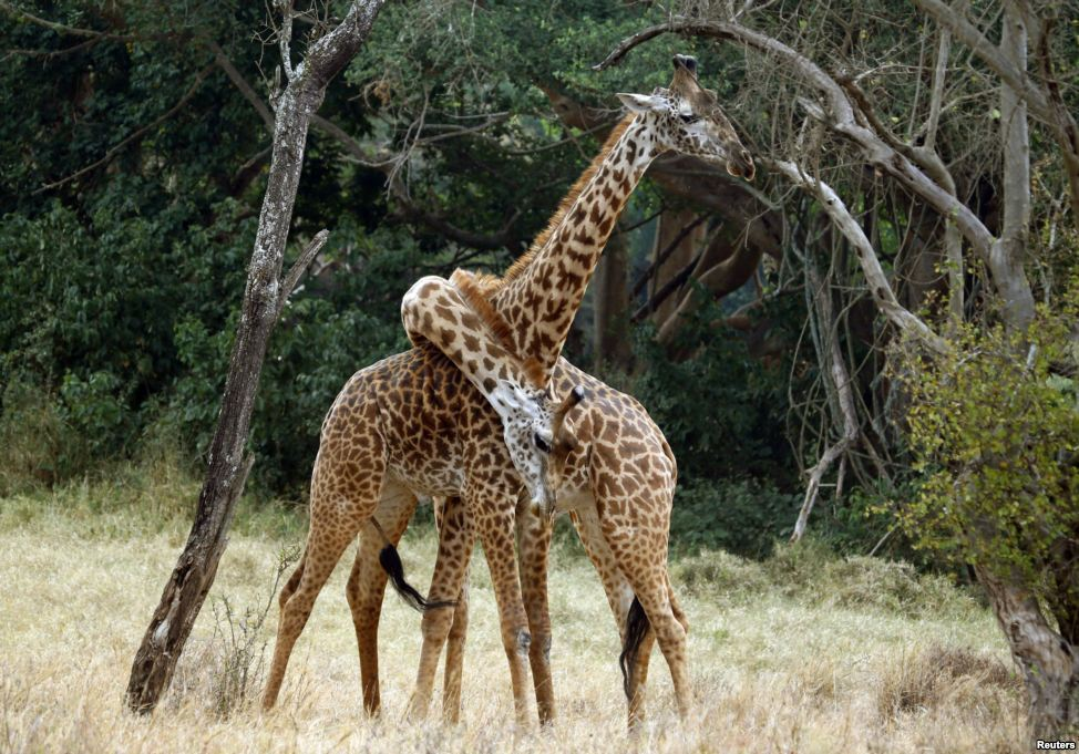 This is how giraffes hug.