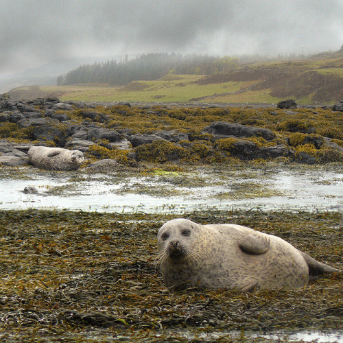 bathorynordland:  Our Dunvegan seal walk by B℮n on Flickr.
