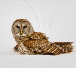 peregrineinastoop:  Barred Owl by Arlo West