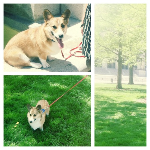 St Louis was beautiful today, so I went on plenty of walks with my people! #bark! #corgi #stl