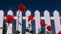 "fohk:  ""It's a strange world"" Blue Velvet (1986)David Lynch"