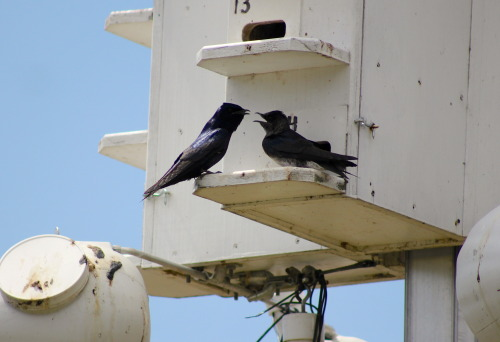 Chatty Purple Martins Montezuma NWR, NY