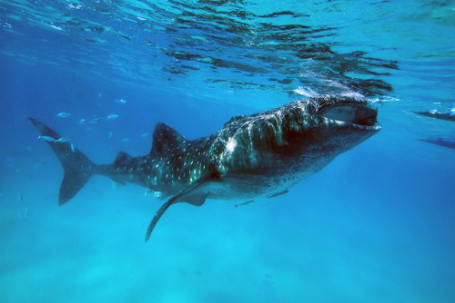 sharkpics:  whale shark  I want to swim with a whale shark..
