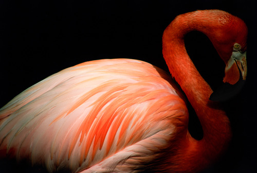 oldflorida:  It's Flamingo Friday! Photo by Mac Stone