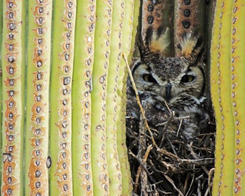 americasgreatoutdoors:  This Great Horned Owl has found a great place to nest in a Saguaro in Saguaro National Park.Photo: Drew Jackson