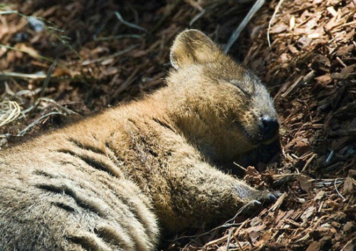 missscountry:   This animal is called a Quokka and it is the happiest thing on the planet.  I'm in love