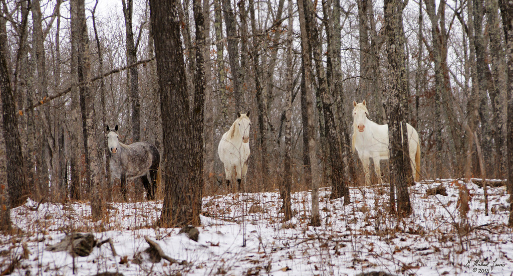 """did you know there's a band of wild horses living near the Ozarks in Missouri? I spent a lot of time in this area as a kid and had no idea there were wild horses anywhere around.   Keep in mind that horses are not native to north America, so when we talk about """"wild horses"""" or """"mustangs,"""" what we really mean is """"feral horses"""" — domesticated animals that escaped or were released within the last few hundred years and started breeding like rabbits.  What is interesting to me specifically about these Ozarks wild horses is that — these are color patterns you don't see a whole lot of in other bands of wild horses! These horses have adapted color patterns that help them blend in to the Missouri landscape, which is a bit different than the horses you see in Nevada or Montana."""