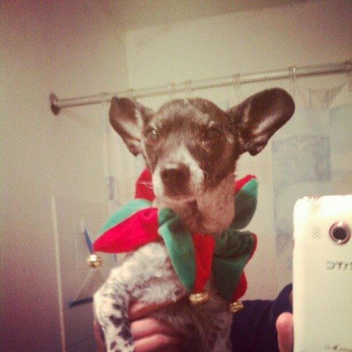 So I got a new Christmas outfit #Dog #ChristmasDog #Me #Christmas #hot #hott #sexy #cute #outfit #jackrussel #terrier