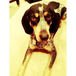 "Buc's ""I need to go out Mom"" face. 🐶👫😘 #bluetick #hound #petstagram #petsofinstagram #dogstagram #igersmanila #igersflorida"