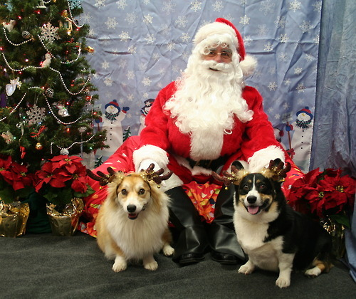 twosillycorgis:  This years reindogs.