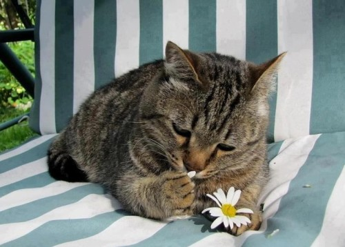 "catasters:  ""Loves Me, Loves Me Not… Loves Me, Loves Me Not…""  Mi miao, non mi miao, mi miao, non mi miao…"