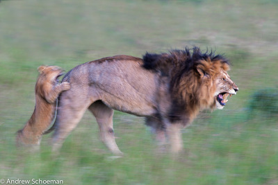Playful Lion and Cub. http://www.andrewschoemanphotography.co.za/