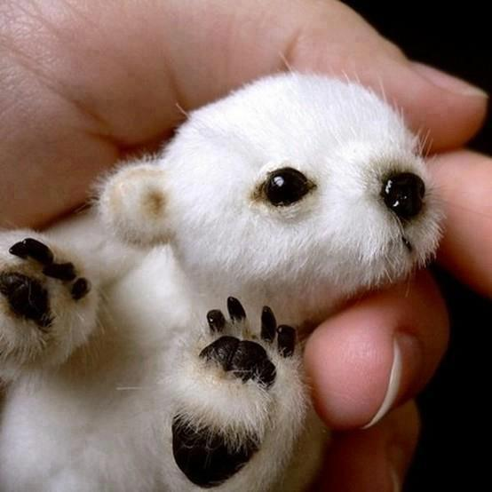 paintswithwords:  baby polar bear..so adorable
