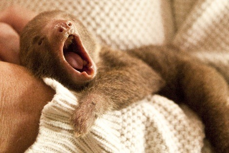 Cute baby sloth, submitted by thedoctor2008.
