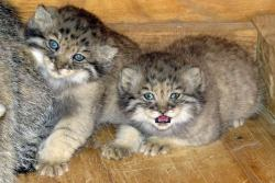rhamphotheca:  Baby Pallas's Cat Kittens at the Feline Conservation Center At about 6 weeks old, the eyes of the Pallas' cat kittens are starting to change color. Pallas's Cat (Otocolobus manul) is a near threatened species from the steppes and sub-mountainous areas of central Asia. More photos at http://www.wildcatzoo.org/births.html (via: EFBC's Feline Conservation Center)  Want