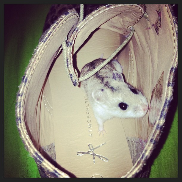 oh hullo! #rodent in a #shoe… #dwarf #hamster #hiding #silly #cute #boothouse