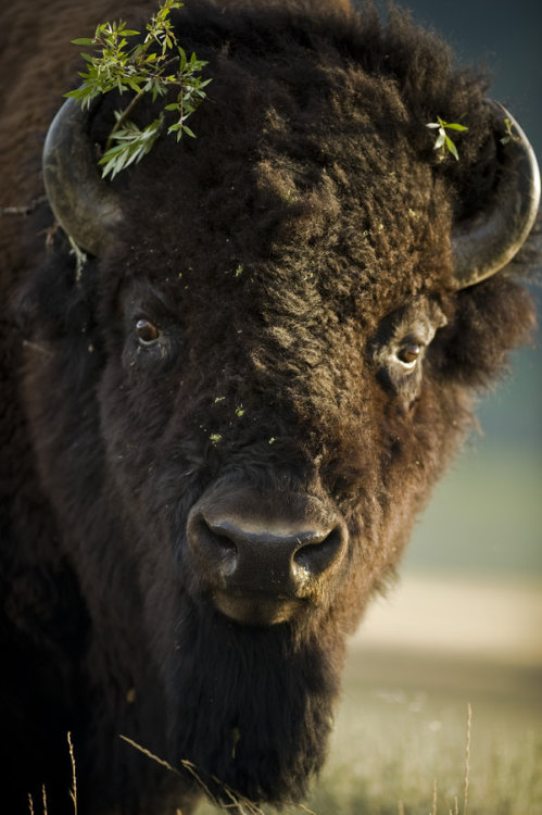 earth-song:  Bison by ~viking10