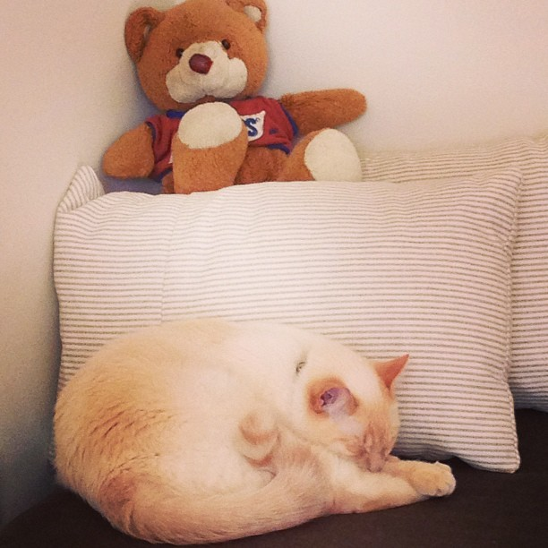 #arnold and #snickers, my bear #photos #arnie #cat #bear #stuffedanimal #catsinrva #catsofinstagram #meow #catnap #igers #igdaily #igaddict #iphone5 #filter