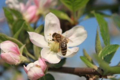 Collecting pollen on an apple blossom