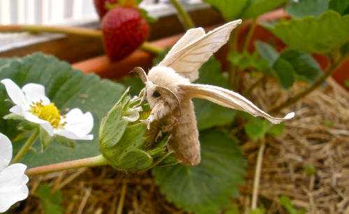 moonsmoss:  princehuniebee:  Silkworm Moth on strawberry plants  oh no