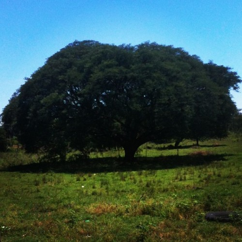 Que #arbol #big #nature #farm #green #grande #photo #2012 #special #travel #paraguay