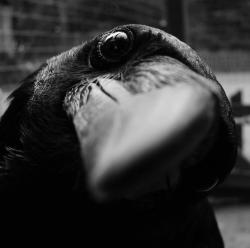 "Quoth the Raven: ""Nevermore!"" Have a great weekend everybody… Photo by Key Gross"