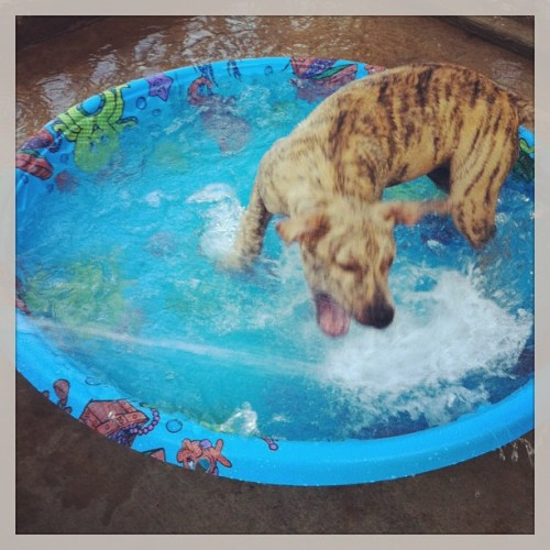 I got the puppies a kiddie pool today #lilly #loves it! So far lol!