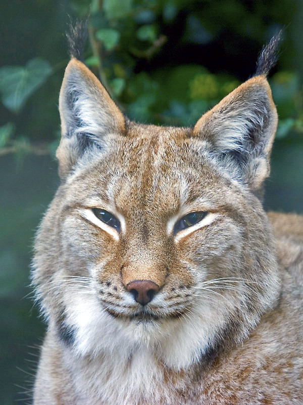 funkysafari:  Lynx by sypix