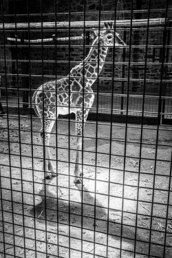 GiraffeBW by Baz's Camera on Flickr.