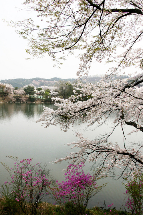 feli-cite:  호암미술관_벚꽃_001 (by Tourism Gyeonggi)