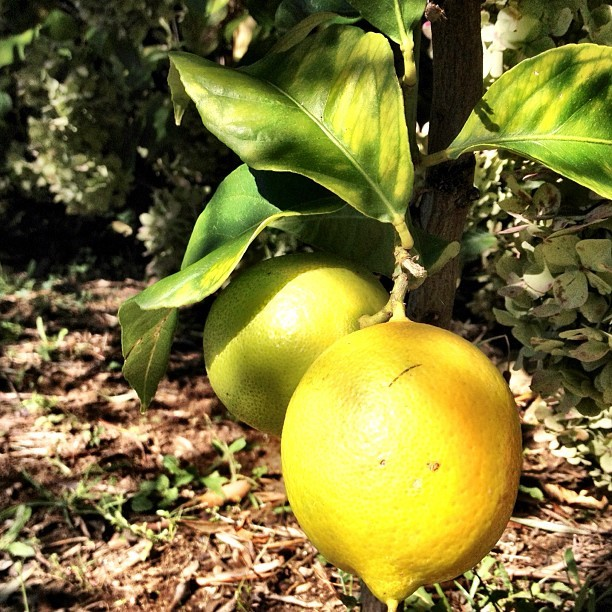 Ripe and juicy lemons.