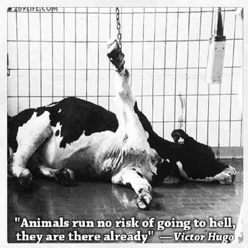 voxamberlynn:  #vegan #animalliberationfront #animalactivists #cows