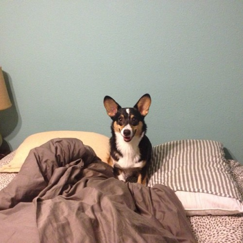 twobadcows:  'Oh, your bed was made?' #corgi
