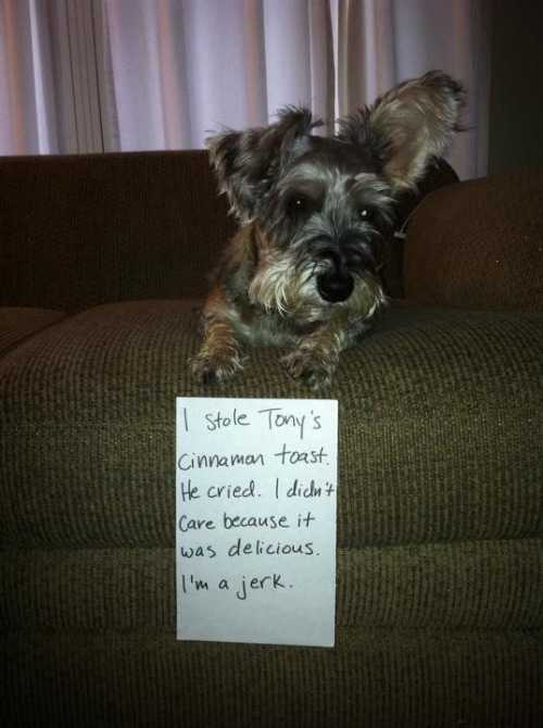 dogshaming:  Chester!!! http://wp.me/s2TGLY-chesterView Post