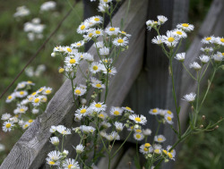 elorablue:  Daisies And Fence By wandering mary on Flickr