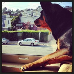 Keeping an #eye on the #neighborhood #sanfrancisco #sunnyside #nataleluciano #doggie #doggieproblems #dog  (at Sunnyside district)