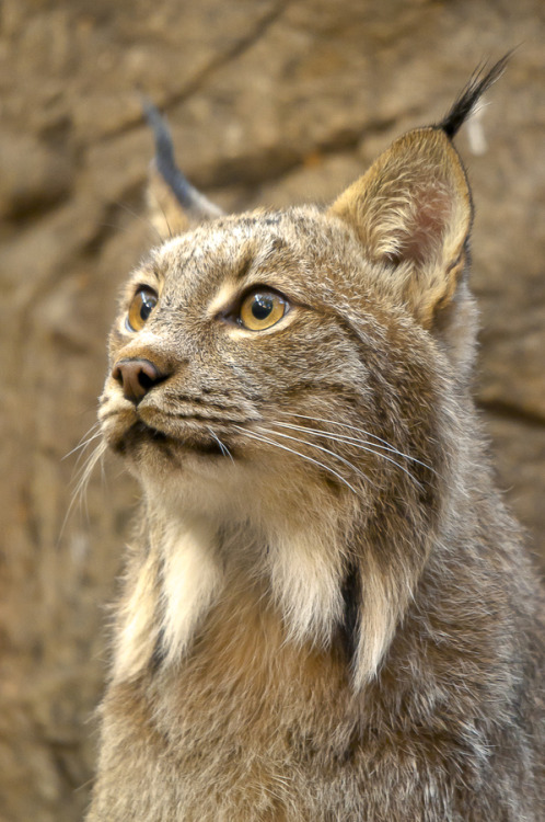 animals-animals-animals:  Canadian Lynx (by Simon Bolyn)