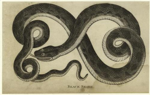 compendium-of-beasts:  Black snake. (1796)  via NYPL