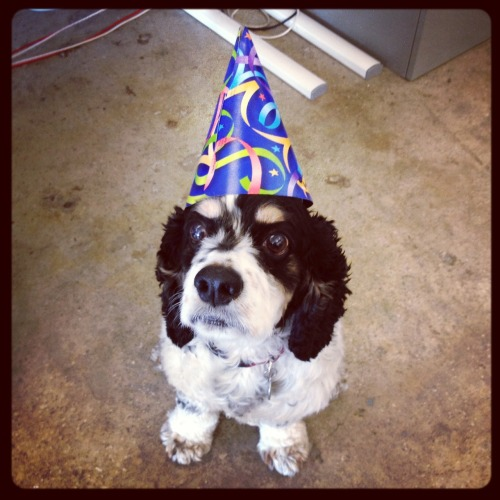 woodythedog:  Happy 6th birthday to me.  Happy Birthday Dog Boyfriend!!!