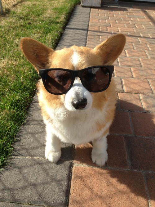 corgiaddict:  Track enjoying the nice sunny day! trackthecorgi.tumblr.com