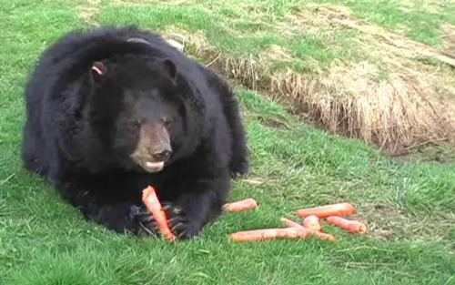 I love this video on Facebook of Molly the bear enjoying her carrots.