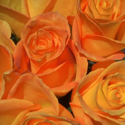 Orange Roses. The warmth of a glowing sunset, the brilliance of an evening sky, the sweetness or citrus, all characteristics you hold. A mix between the red rose for love and the yellow rose for friendship, for you are one of my best friends and my love for you is unconditional. They represent pride and are given to those you feel honored to be associated with. I gave these to you for your birthday and they have bloomed this Mothers day. Mommy, these roses are for you and are just as beautiful as the woman God has blessed me to call my Mother. I love you always <3 Love your Lady Z :)