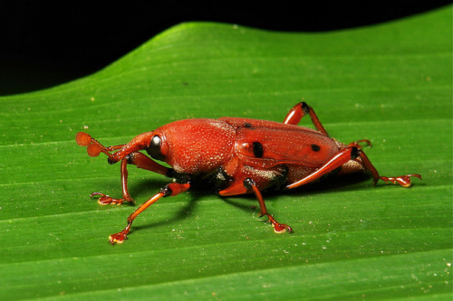 Weevil (Curculionidae)  by Sinobug (itchydogimages) on Flickr. Pu'er, Yunnan, China  See more Chinese beetles on my Flickr site HERE…..