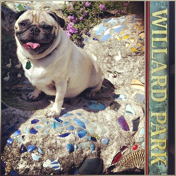 park'n it proper. we found @willardistall 's park in Berkeley!  #pug #thorbert #TeamWillard  (at Willard park)